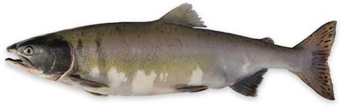 ماهی سالمون تازه